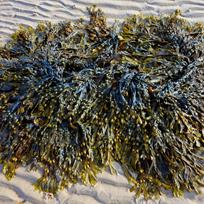 Algues, spiruline