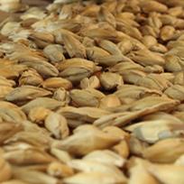 Céréales : blé, maïs, orge, riz