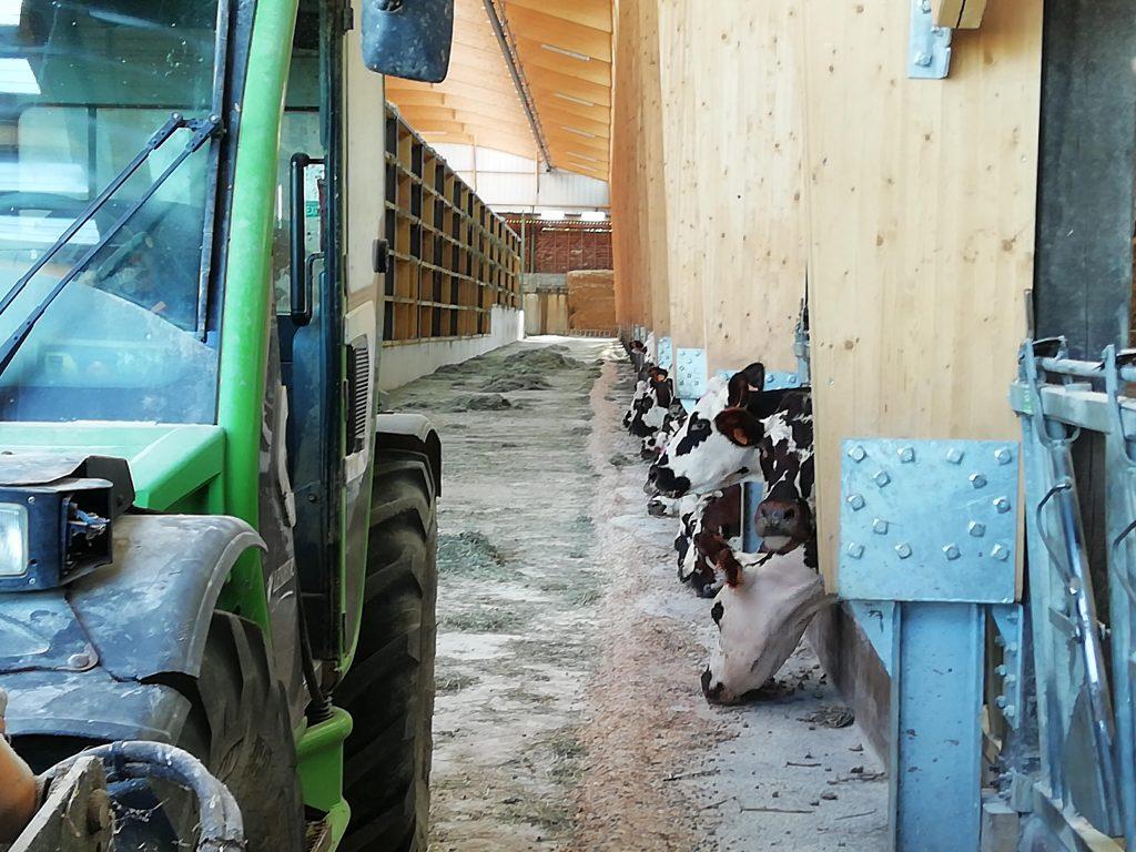 vaches normandes dans le séchoir en grange
