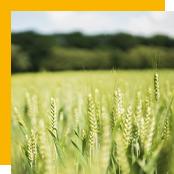 matière à sécher - blé