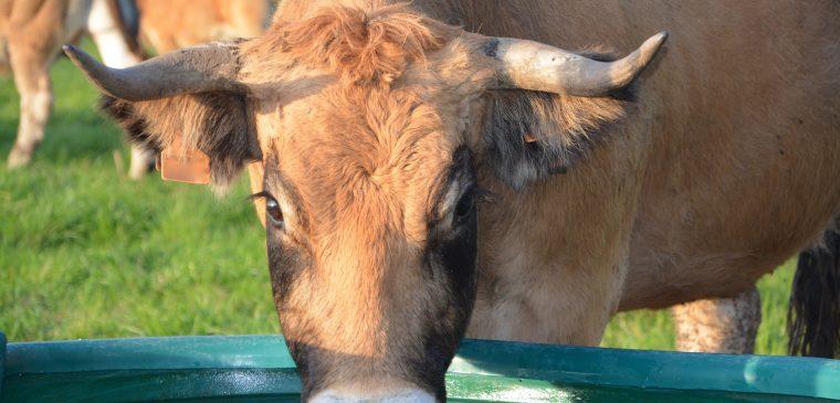 abreuvoir vache