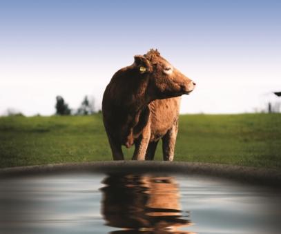Abreuvement troupeau vaches